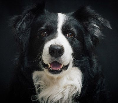 Smart Breeds - Border Collie